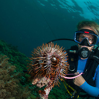 Divers collecting Crown of Thorn Starfish, Pom Pom Island, Sabah, Borneo, East Malaysia, South East Asia