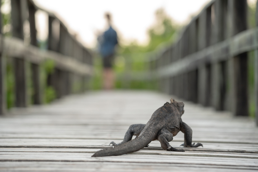 Marine iguana (Amblyrhynchus cristatus) on a boardwalk trail, Isabela Island, Galapagos Islands, Ecuador.