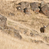 trophy mule deer buck in tall grass
