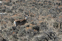 Mule Deer (Odocoileus hemionus), Sand Wash Basin, Colorado, USA   Photo: Peter Llewellyn