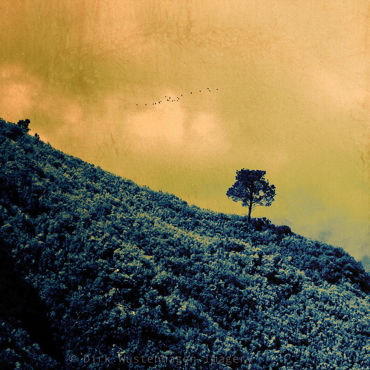 Lone tree standing on a slop in the centre of the island Madeira, Portugal - texturized and digitally tinted photograph.