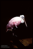 Roseate spoonbill stands in pool in spot of sun surrounded by black shadow at Kansas City Zoo. Missouri