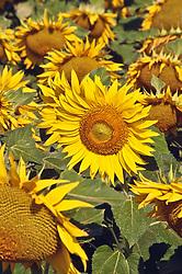 July 21, 2019 - Sunflowers (Credit Image: © Bilderbuch/Design Pics via ZUMA Wire)