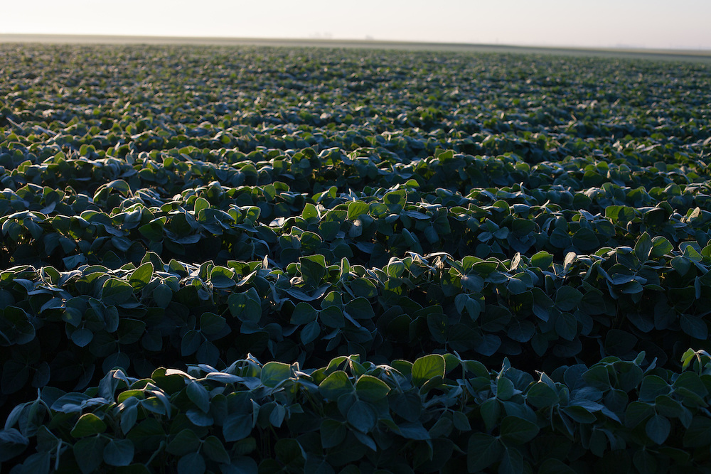 The early morning sun highlights the summer dew on a Central Illinois soy bean field.