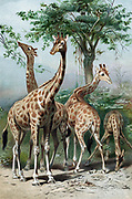 Giraffe browsing. French naturalist Lamarck considered giraffe illustrated his 'Transformism' theory of evolution by acquired characteristics. Chromolithograph c1885