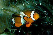 False clown anemonefish, Amphiprion ocellaris, Australia, Pacific Ocean