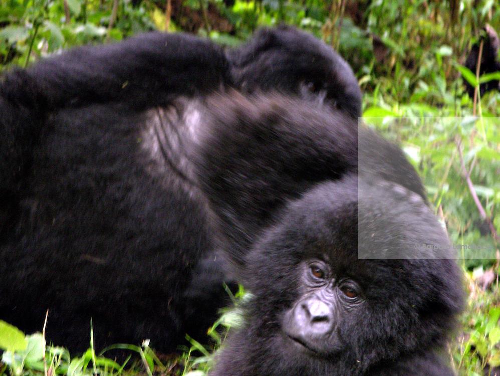 Mountain gorillas (Gorilla beringei beringei) in the Virunga National park.