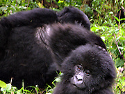 Mountain gorillas (Gorilla beringei beringei) in the Virunga National park.
