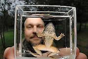 Dr. Trent Garner holding a chytrid-infected Tyrrhenian Painted Frog (Discoglossus sardus), Sardinia, Italy   Dr. Trent Garner hat auf Sardinien einen Sardischen Scheibenzüngler (Discoglossus sardus) gefangen, der an der Pilzinfektion Chytridiomykose erkrankt ist. Durch den starken Befall mit dem Erreger Batrachochytrium dendrobatidis sind die Finger der Vordergliedmaße verkümmert.