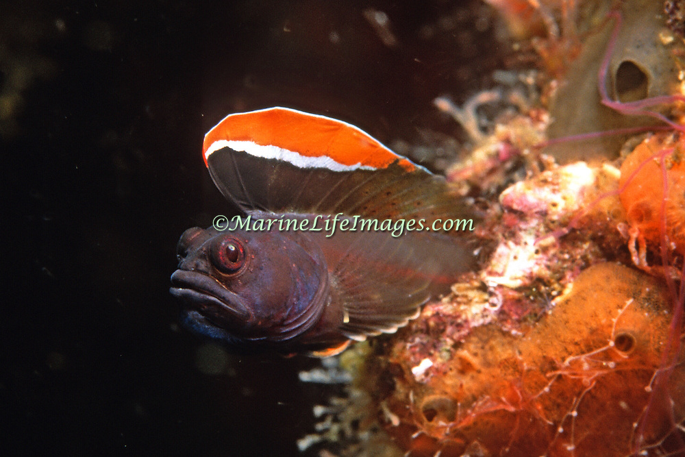Hornless Blenny inhabit reefs and areas of rocky rubble, courting males reside in holes in coastal Venezuela; picture taken Margareta Is, Venezuela.