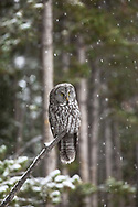 Great grey owls are stealthy hunters, using their incredible hearing to locate prey. This owl stayed perched on an old snag, listening intently for the sounds of voles and mice under the snow.  When he heard none, he moved deep into the forest to a more successful hunting spot.