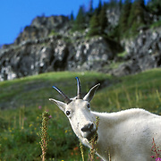 A mountain goat forages on summer wildflowers near Logan Pass in Glacier National Park.