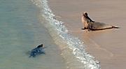 Galapagos Sea Lions at the beach of Santa Fe.