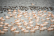 A flock of Great White Pelican (Pelecanus onocrotalus) in the water, Photographed in the hulla valley, Israel
