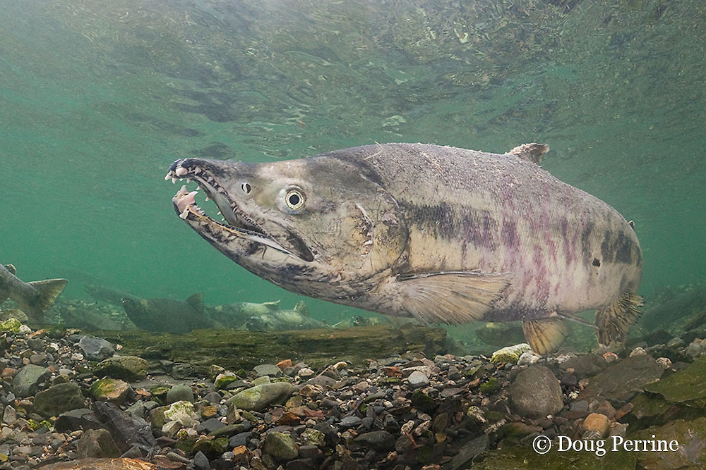 male chum salmon, dog salmon, silverbrite salmon, or keta salmon, Oncorhynchus keta, with kype (hooked jaw) and snaggly teeth, in spawning stream, Bear Trap, Port Gravina, Alaska ( Prince William Sound )