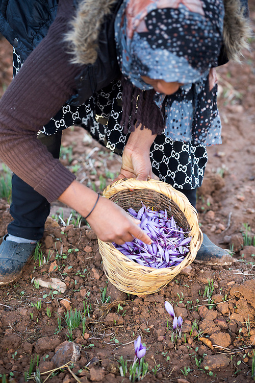 TALIOUINE, MOROCCO - October 25th 2015 - Farmer harvests saffron flowers at saffron farm in Taliouine, Sirwa Mountain Range, Souss Massa Draa region of Southern Morocco
