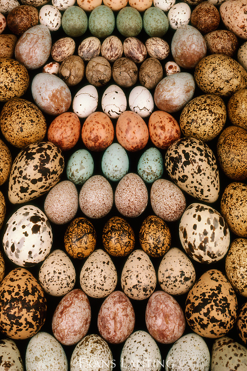 Bird egg collection, Western Foundation of Vertebrate Zoology, Los Angeles, California, USA