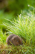 Water Vole (Arvicola terrestris) adult feeding on grass bank creating 'vole garden', Norfolk, UK.