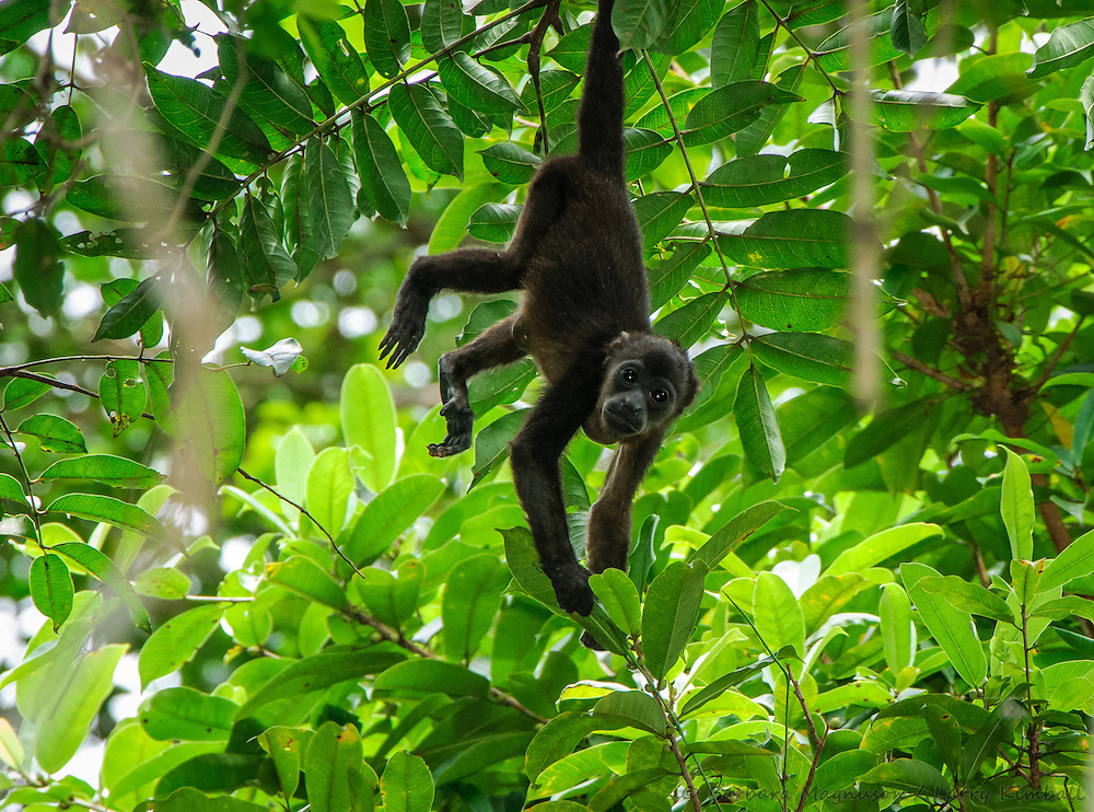 Golden-mantled Howler Monkey [Allouata palliata]  juvenile browsing canopy; Soberania National Park, Panama
