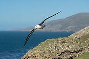 A Black-browed albatross in flight over Saunders Island in the Falklands.