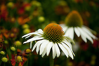 "New blooms of ""White Swan"" Echinacea, also known as the coneflower."