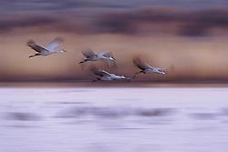 sandhill cranes; bosque del apache wildlife refuge new mexico; Grus canadensis; flight