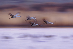 sandhill cranes; bosque del apache wildlife refuge new mexico; Grus canadensis; flight