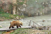 """Exclusive<br /> Brown Bears in the Valley of Geysers<br /> <br /> Every year people burn their feet in the Valley of Geysers and caldera of Uzon volcano.  They do not pay attention to the warnings. But what about bears? They cannot read the instructions and wooden decks are built not for them. And they do not wear shoes..<br /> For millions of years of evolution animals have learnt to use heat for their own good. Some birds make their nests on the warm ground, the volcanic soil works like an incubator. Nestlings grow faster and begin flying earlier, they have more chances for survival.<br /> <br /> Bears are also smart enough to use the heat of the volcano for their own good. They like to eat the first grass appearing on the warm soil. On some days 20 or 30 bears can accumulate at one place of the valley. It's unique even for Kamchatka.<br /> <br /> They like to warm up here in bad weather. April, May and even beginning of June are quite cold in the region. On such days bears lie on the warm volcanic ground. They even have their favourite places on the slopes.<br /> <br /> Experienced animals move along the valley quite confidently. At the hottest places they step on the wooden decks made for tourists. They also step on large stones sticking out of the hot water.<br /> Though young bears have to study first to avoid troubles.<br /> <br /> Photographer Igor Shpilenok who captured these stunning images..<br /> """"When I first came to Kamchatka, I knew I wanted to do something different. I had seen a lot of photos of bears with salmon from Alaska and Kamchatka. I decided that my mission was to take a photo of a bear with a waterfall in the background. I got that shot my first day on Kamchatka in the Valley of the Geysers, so I had to think of something else. From then on, I took photos of bears with geysers, volcanoes, and other thermal ecosystems. Kamchatka is a unique and wild place, unlike any other, and a place I know will always draw me back. The first time I went t"""