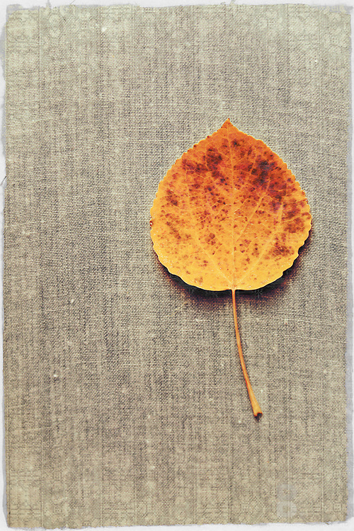 Single leaf on textured sheet creates uniques details and brings out the golden red leaf.