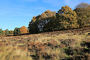 Autumn colours trees in Sandlings heathland, Sutton, Suffolk, England, UK