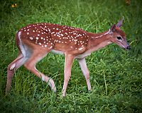 Fawn with Spots. Image taken with a Fuji X-T2 camera and 100-400 mm OIS telephoto zoom lens