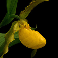 Close-up portrait of yellow lady's slipper (Cypripedium parviflorum) in profile, G. Richard Thompson Wildlife Management Area, Linden, Virginia.