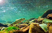 Cutthroat Trout swimming in the Rattlesnake Creek in Missoula, Montana