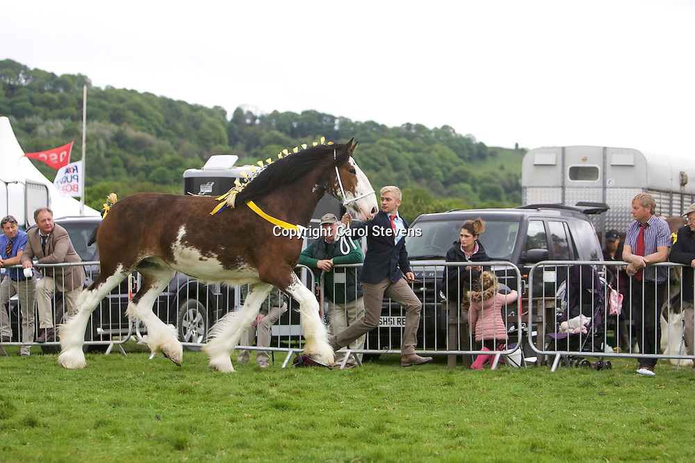 Paul Bedford's Thorpe Hill Lucky Charm  (s  Metheringham Upton Hamlet)<br /> Winner  Three year old Gelding or Mare Class