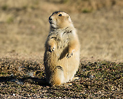 Prairie dog (genus Cynomys) in Devils Tower National Monument, Wyoming, USA. Prairie dogs, a type of ground squirrel, are herbivorous burrowing rodents native to the grasslands of North America.
