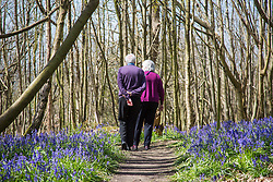 @Licensed to London News Pictures 21/04/2016. Visitors enjoying the first bluebells of the season at Riverhill Himalayan Gardens in Sevenoaks, Kent. Photo credit: Manu Palomeque/LNP