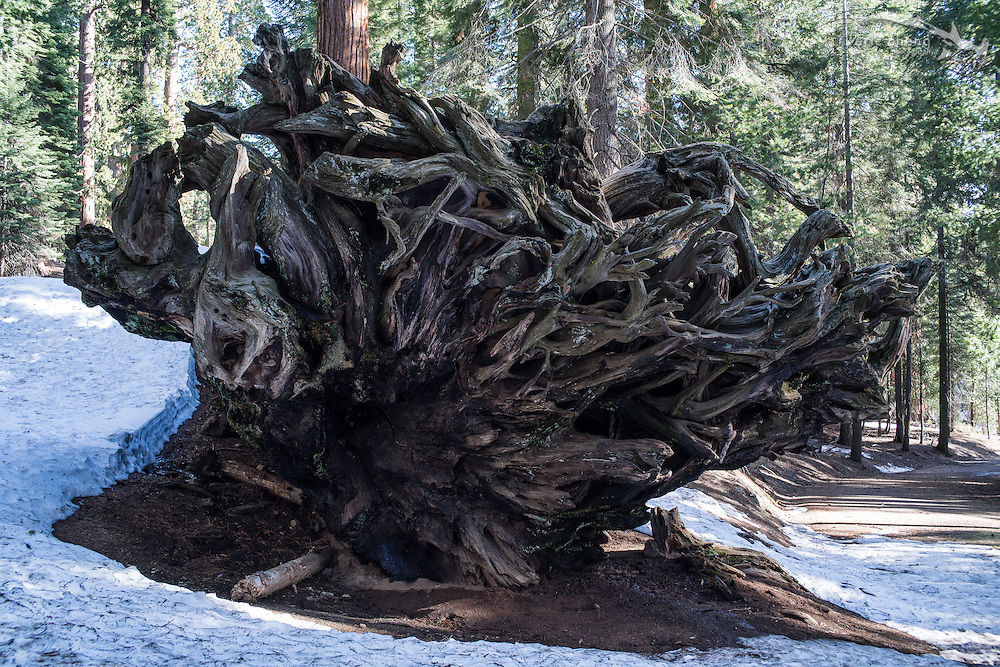 Fallen sequoia tree. Sequoia National Park, California.