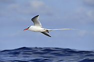 Red-billed Tropicbird - Phaethon aethereus<br /> Little Tobago, Trinidad and Tobago