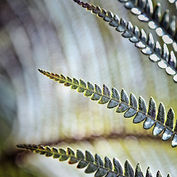 Ferns viewed with shallow depth of field. Captured in The Big Island, Hawaii.