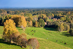 View from Mäekonnu tower in Võru county, Estonia. Green meadow and colorful forest. Dairy cattle, autumn.
