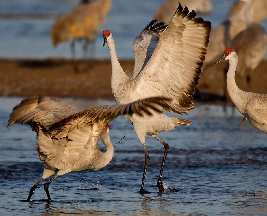 PlatteRiver2008.14-Sandhill Cranes make their annual stopover along the Platte River in central Nebraska during the spring migration.