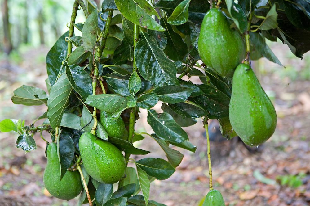 Fruit on an Avocado tree growing at the Grail centre in Uganda.