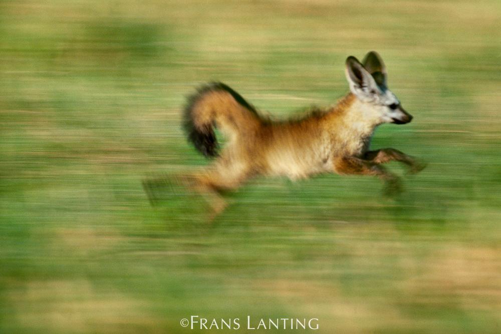 Bat-eared fox running, Okavango Delta, Botswana