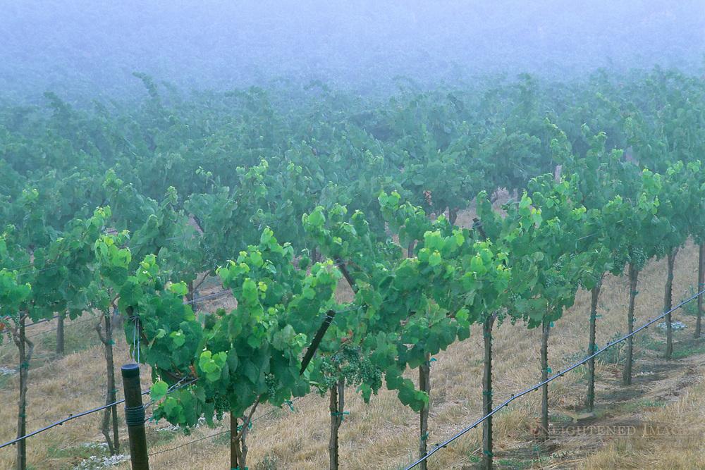 Morning fog over vineyards in the Alexander Valley, near Asti, Sonoma County, California