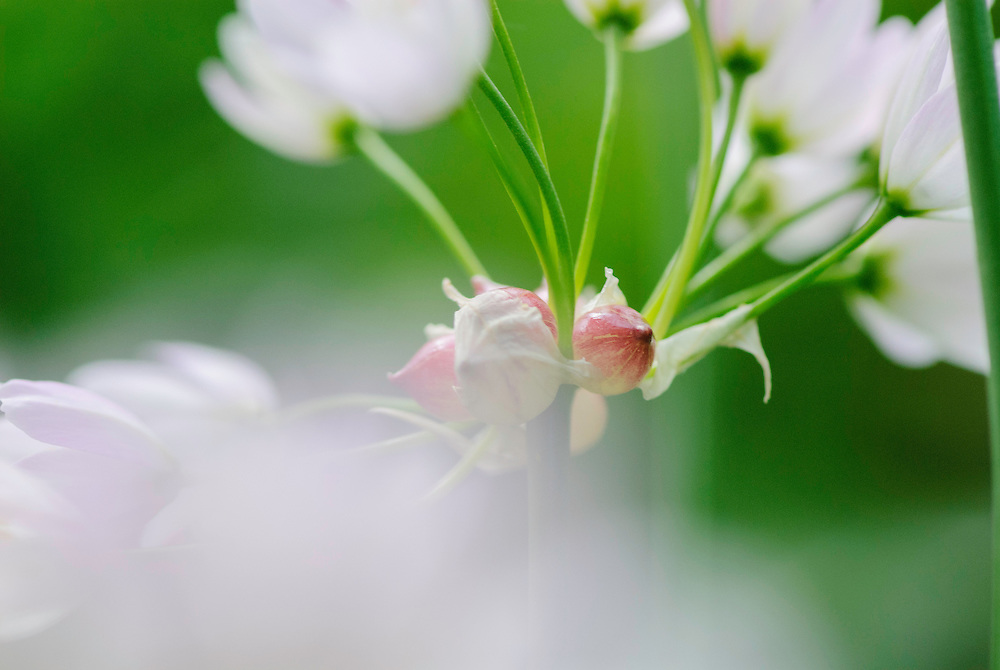Roze look, Allium roseum