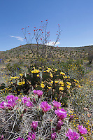 Ocotillo, Strawberry Cactus and Prickly Pear, Big Bend Ranch State Park, Texas
