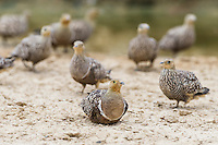 Namaqua Sandgrouse gathering at a waterhole, Kgalagadi Transfrontier Park, Northern Cape, South Africa