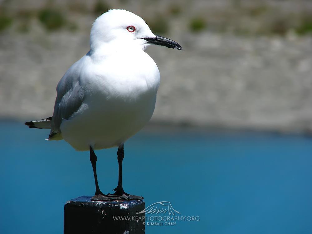 Black-billed Gull, endangered, New Zealand
