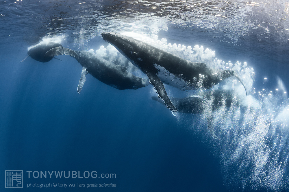 This was a heat run of seven humpback whales (Megaptera novaengliae), with a female that was predominantly black in colouration. These seven were clearly engrossed in their heat run activities, but they approached people in the water quite often, with the female coming up to display only a few metres away from me. In this scene, the seven whales have just realised that a group of three whales was approaching in the distance. All the whales took off in an instant, swimming at high speed and blowing curtains of bubbles to punctuate their mad dash. Note the severe injuries to the pectoral fin of the second whale in the row.