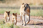 A Lioness with two cubs follow follow a Buffalo herd in the South Luangwa National Park..South Luangwa National Park, Zambia, Southern Africa..© Zute & Demelza Lightfoot.www.lightfootphoto.com..